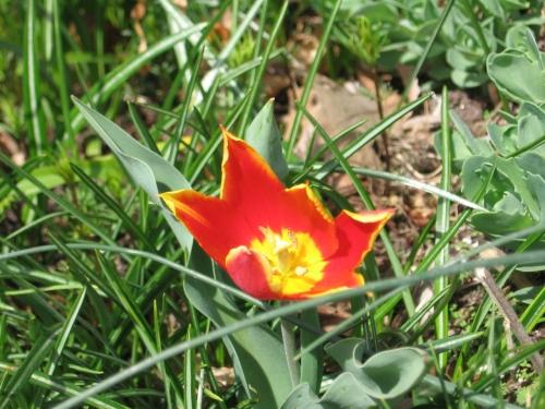 Tulip Duc van Tol Red and Yellow